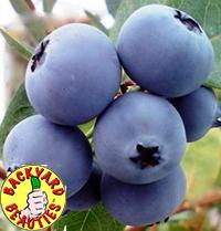 Blueberryedit