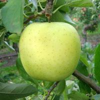 FV;Apples;DwarfGoldenDelicous