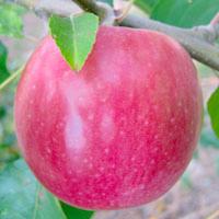 FV;Apples;LadyWilliam
