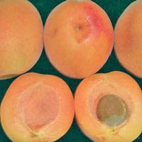 FV;Apricots;Hunter