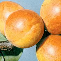 FV;Apricots;Moorpark
