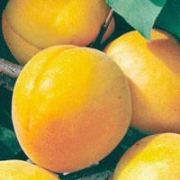 FV,Apricots;Trevatt