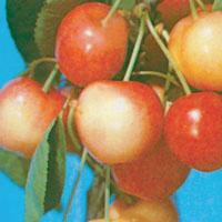 FV;Cherries;Napoleon