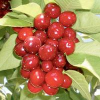 FV;Cherries;Stella
