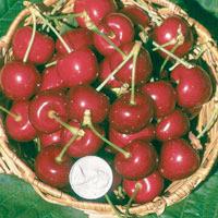 FV;Cherries;Van