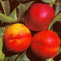 FV;Nectarines,Peacharine