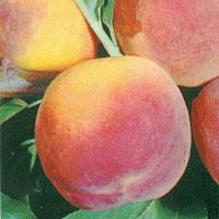FV;Peaches;Elberta