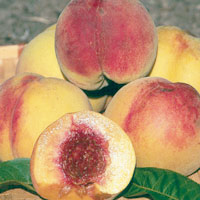FV;Peaches;LateRedItalianCling