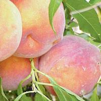 FV;Peaches;ValleyRedDwarfPeach