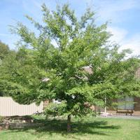ElmUlmus;Chinese Elm;UlmusParvifolia