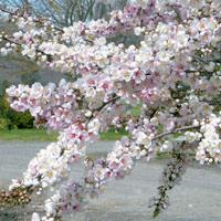 Prunus;Elvins