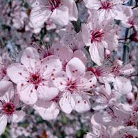 Prunus;Nigra