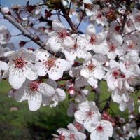 Prunus;Pissardi
