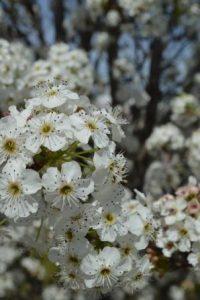 Balhannah_Glensform_blossom_website