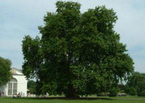 Orientalis Plane Tree