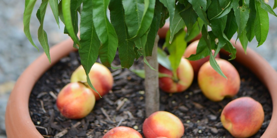 Superdwarf Valley Gold Nectarine_Balhannah Nurseries_edited1100x550