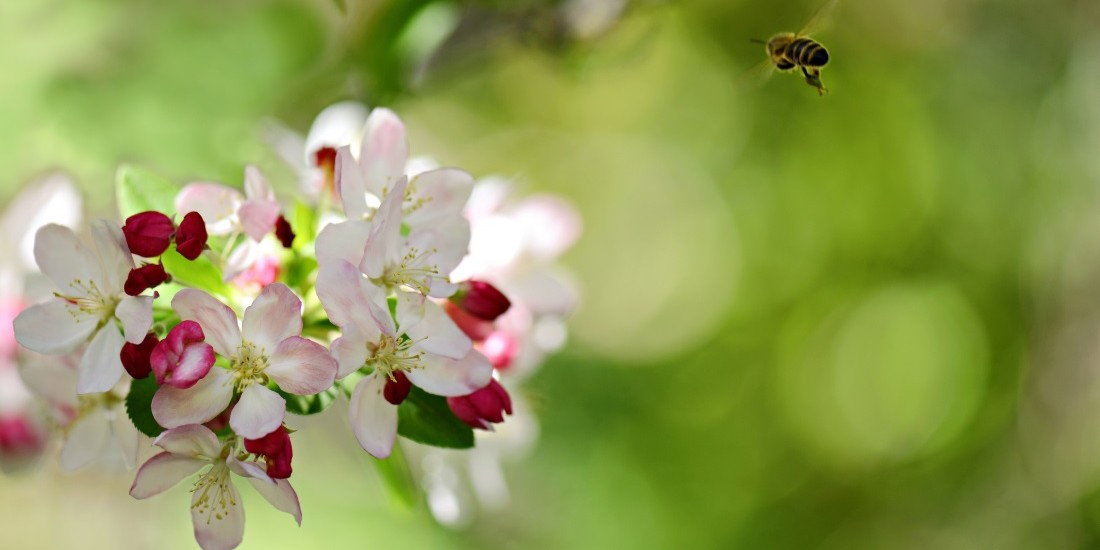 cover8_crab apple with bee_Balhannah Nurseries_edited1100x568